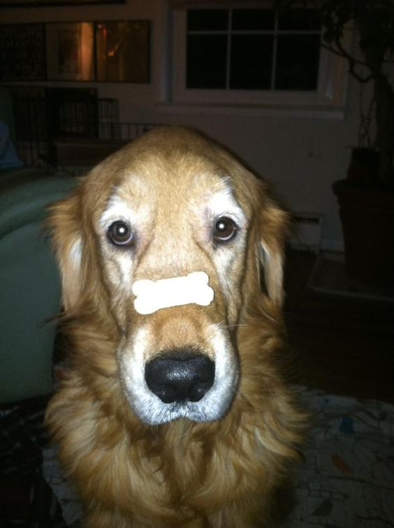 "I will balance""bone,bone""on my snout until instructed otherwise."