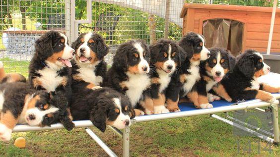9 Berner Sennen pups