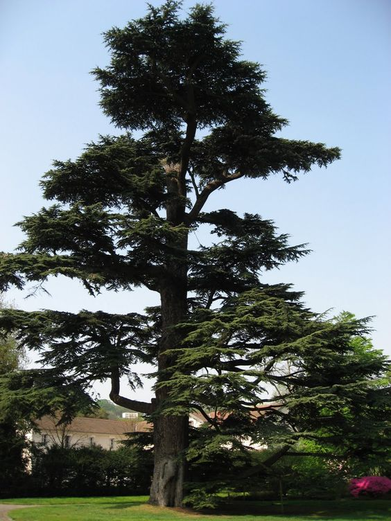 We never try to understand the spiritual aspects of these trees without noticing something about the tree itself, so we would remind you that this particular fir tree, sometimes called a pine tree, grows in the mountains of Lebanon and Herman; and as one botanist has described it, it is an emblem of majestic stature. It reaches sometimes to the height of sixty feet. Its broad boughs are evergreen. http://www.livingbiblestudies.org/study/JT9/005.html