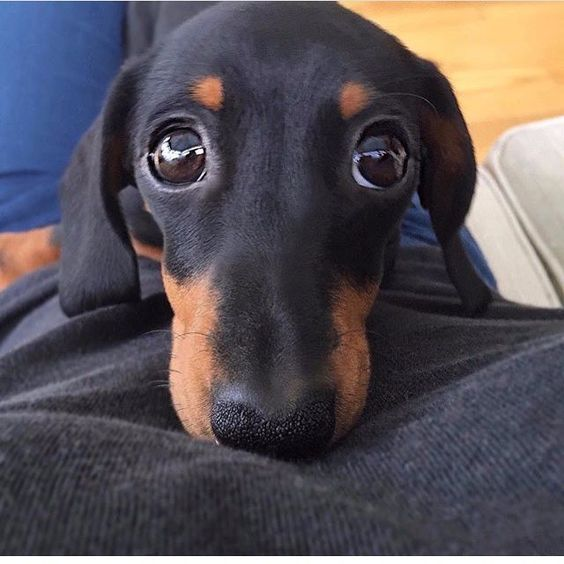 Dachshund Accessories For Dogs Dachshund Central Baby Dogs Dachshund Pets Puppies
