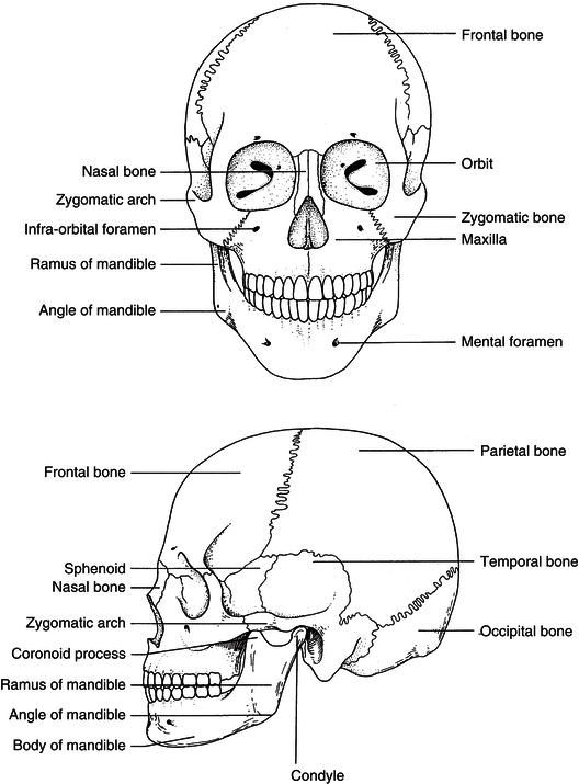 Nice Chapter 9 Head And Neck Anatomy Motif - Anatomy And Physiology ...