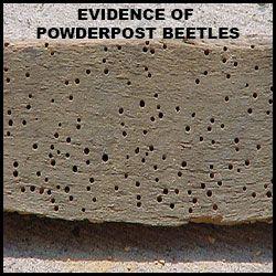 Powderpost Beetle info