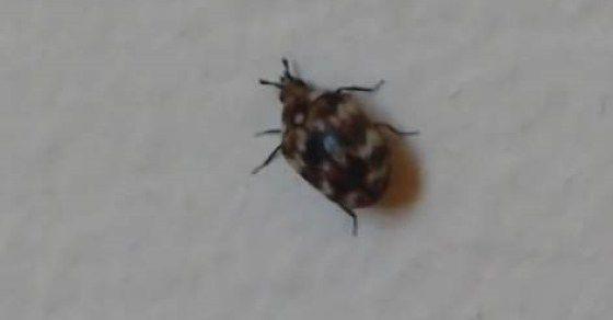Blog Skin Beetles Aka Carpet Beetles Carpet Beetles Dermestid