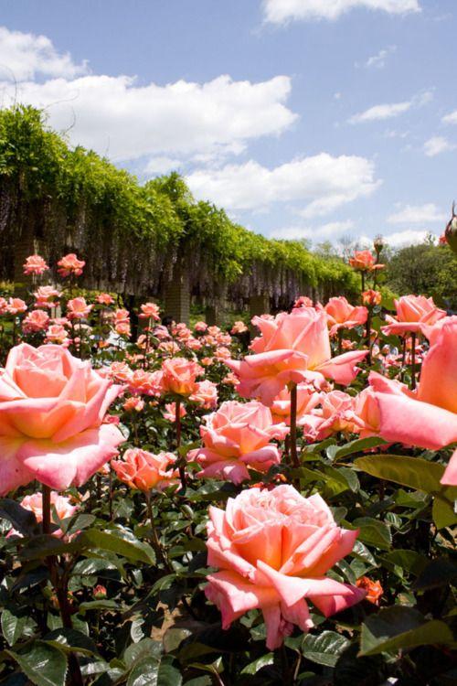 Teren pod szkółkę róż