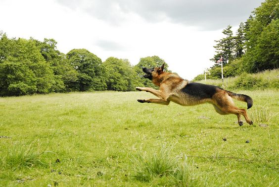 A #German #shepherd in #flight.