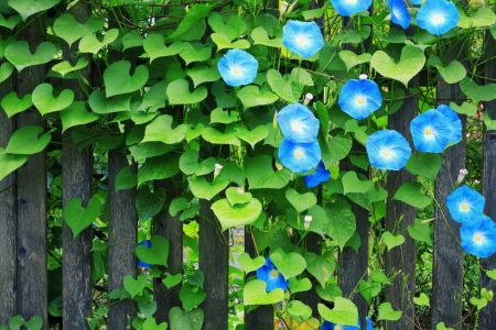 Perennial vines for fences wood fence annual and for Perennial wood