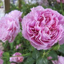 JAPAN ROSE SHOW