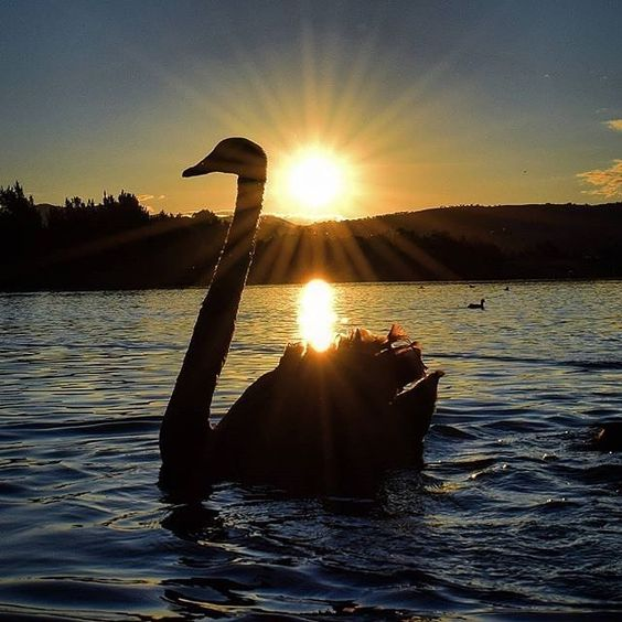 We hope you had another fantastic weekend in the capital! Before the weekend officially comes to an end we wanted to share one more awesome fan photo; Instagrammer @steve_outandabout beautifully snapped this swan at sunset at Isabella Ponds. #visitcanberra