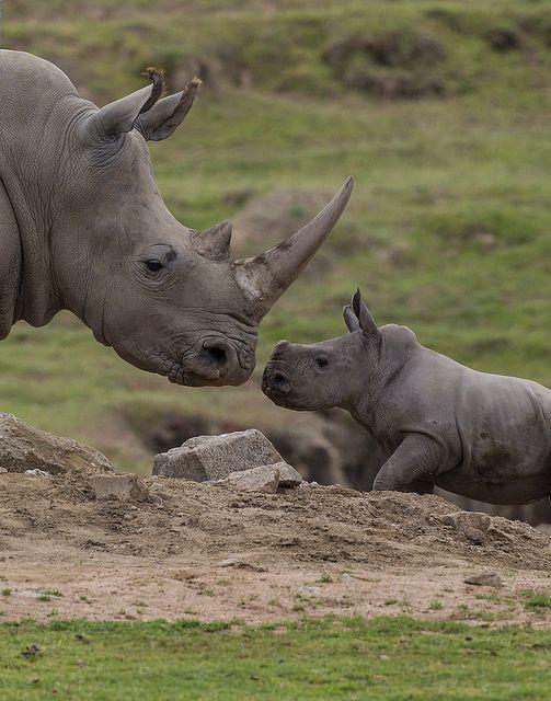Rhino calf Kayode locks eyes with Mom at the Safari Park.