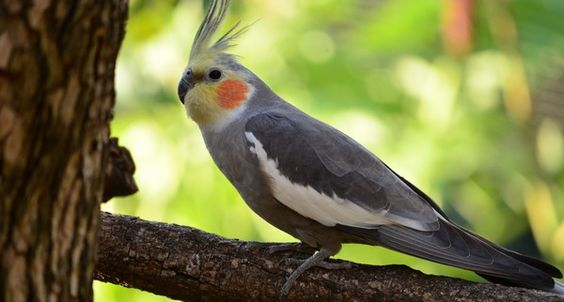 La Perruche Calopsitte (Cockatiel) - Le Oiselier