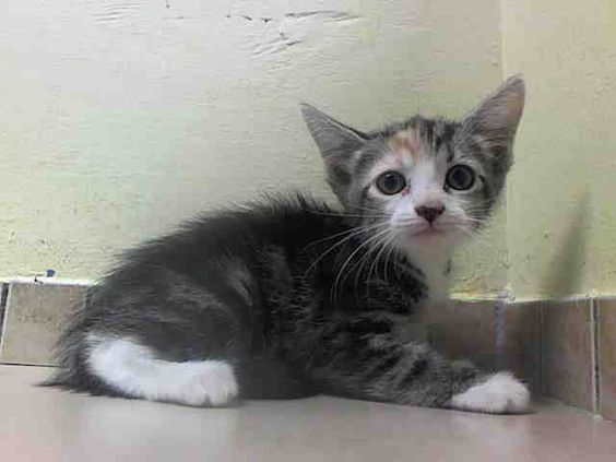 SAFE! TO BE DESTROYED 8/2/14 ** BABY ALERT! Female 5 weeks Too young to adopt, eating well on own Littermates 414/416 and 417 ** Brooklyn Center  My name is VENUS. My Animal ID # is A1008413. I am a female torbie domestic sh. The shelter thinks I am about 5 WEEKS old.  I came in the shelter as a OWNER SUR on 07/28/2014 from NY 11213, owner surrender TOO MANY P. Group/Litter #K14-187777.