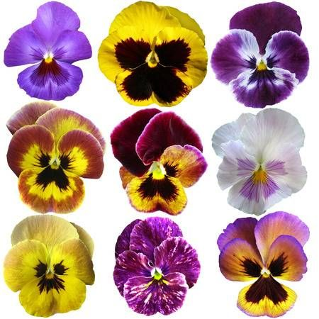 Stock Photo Pansies Flower Pictures Stock Photos