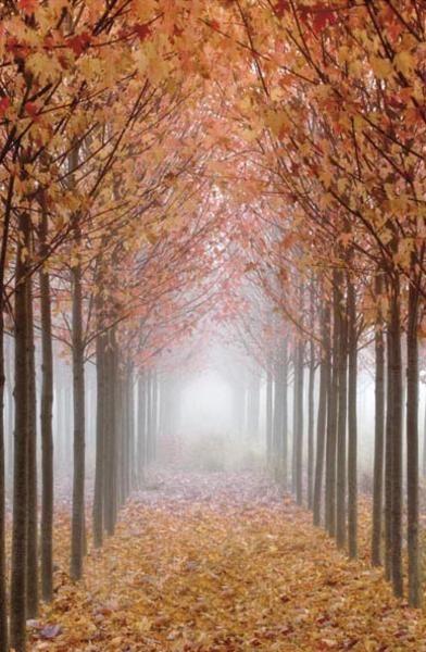 Willamette Valley Maples I