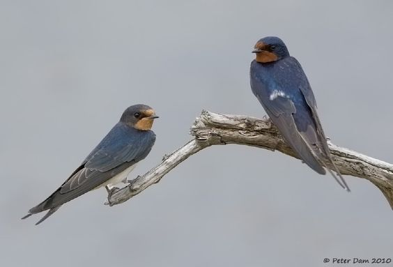 Two Swallows - by Photo.net photographer Peter Dam