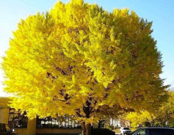 Mimosa tree in Sukhumi