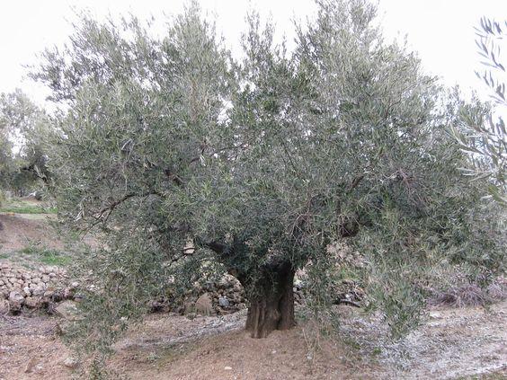 El Olivo y la Aceituna: Orito de la Sierra Sur, es Aceite de Oliva Virgen Extra,  proviene de la aceituna Picual, modalidad vigorosa y bravía, recolectada en el escarpado terreno de la Sierra Sur de Jaén, a una altitud que oscila entre 900 y 1200 metros.