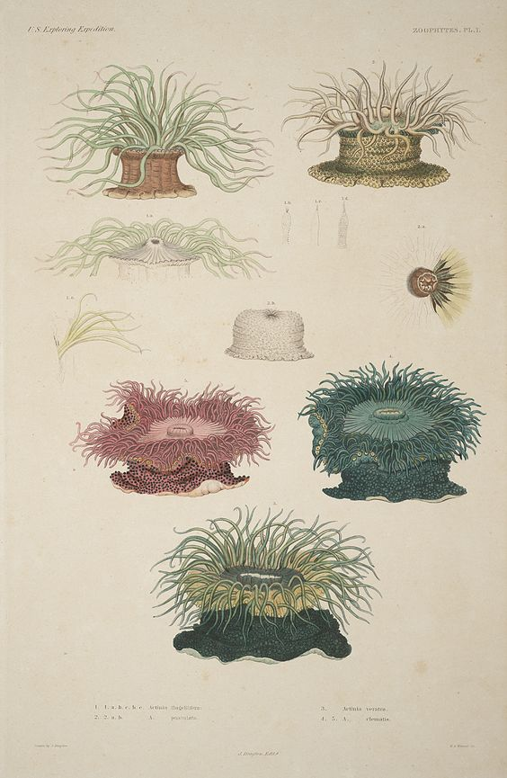 Sea anemone, Vintage illustrations and Anemones on Pinterest