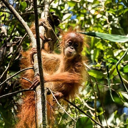 Pongo Tapanuliensis On Instagram Happy Wednesday From An Adorable Baby Tapanuli Orangutan Did You Know There Animals Sumatran Elephant Endangered Species