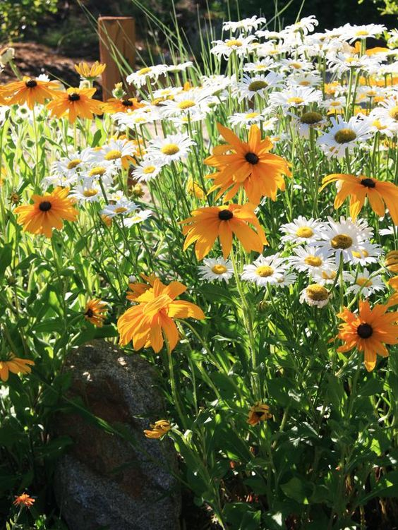 Shasta Daisy (Chrysanthemum maximum) and Black-eyed Susan (Rudbeckia hirta):