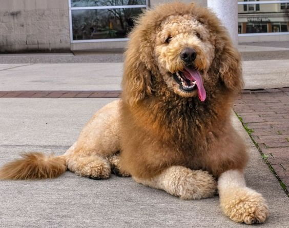 A dog has become an internet hit after being mistaken for a lion. Labradoodle Charles the Monarch is a dead ringer for the king of the jungle with a shaggy mane and long feline tail. The similarity is so striking, concerned bystanders have called police to report an escaped big cat when he goes for a walk. After his picture appeared online, Charles generated over 50,000 Facebook friends.