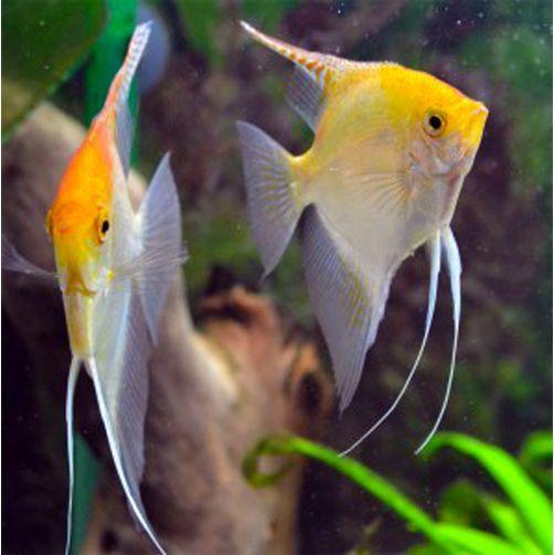 Pterophyllum Scalare Gold Angelfish 2 Arizona Aquatic Gardens Angel Fish Fish Koi Fish