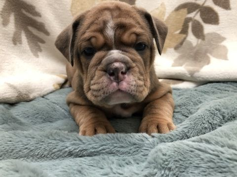 Litter Of 8 Olde English Bulldogge Puppies For Sale In West Covina