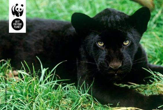 A jaguar can't change its spots... But this jaguar has a genetic variation called melanism, which gives it this black colouring. Can you see the faint rosettes on its back?