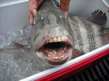 Fish with human looking teeth pacu fish or the sheephead for Blue fish dental