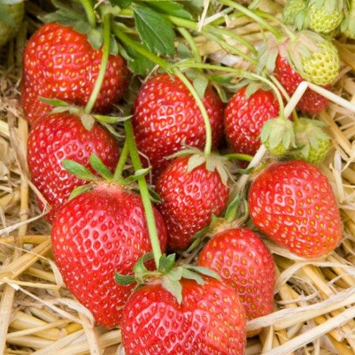 Strawberry Plants 'Korona' (12 plants)
