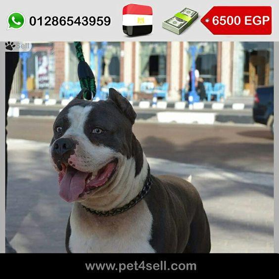 مصر الأسكندرية دكر بيتبول بلو نوز جسم عضلي الوان جميله عمر سنه و شهرين في العصافره Pet4sell Dogs Pitbulls Animals