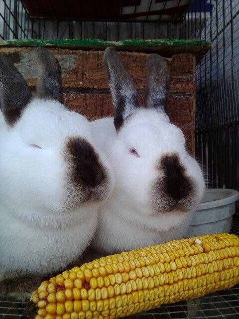Two Californian Rabbits eating corn cob