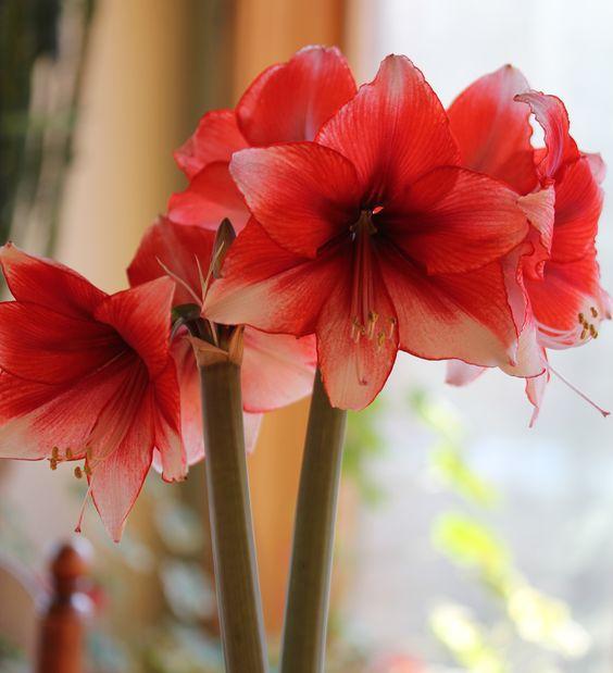 Amaryllis Bulbs What To Do And Bulbs On Pinterest