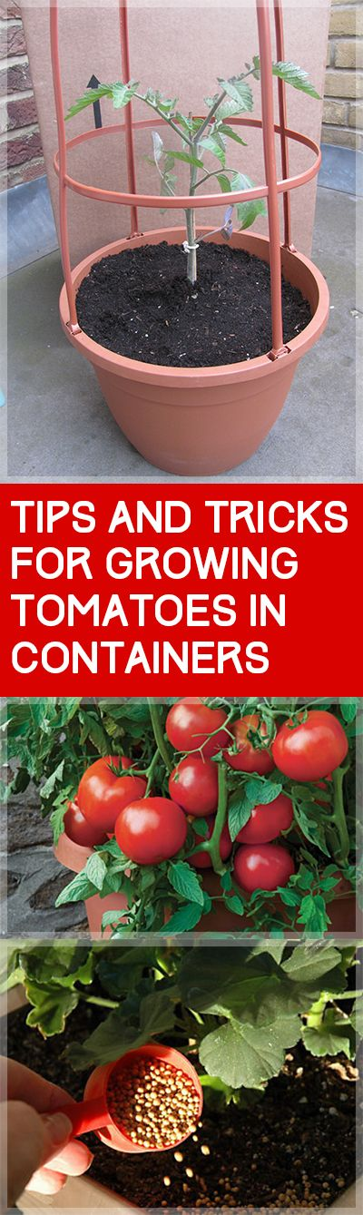 Tips and tricks for growing tomatoes in containers for Tomato gardening tips
