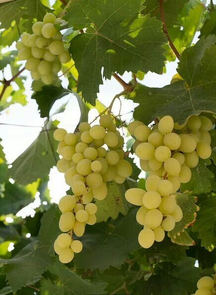 Grapes from Hebron