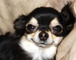 Have You Ever Seen a Chihuahua Smile?: