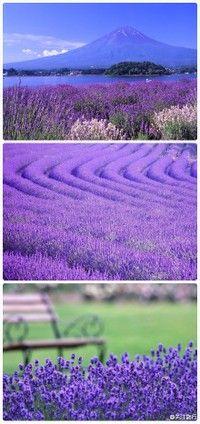 Xinjiang Yili lavender fields