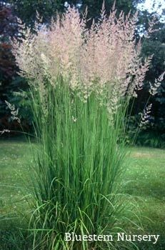 Calamagrostis acutiflora 39 karl foerster 39 feather reed Long grass plants