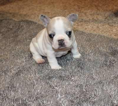 French Bulldog Puppy For Sale In Carmel In Adn 61578 On