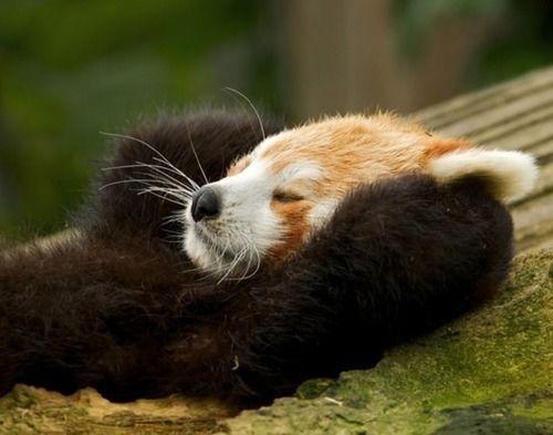 レッサーパンダまるで人間のような昼寝姿