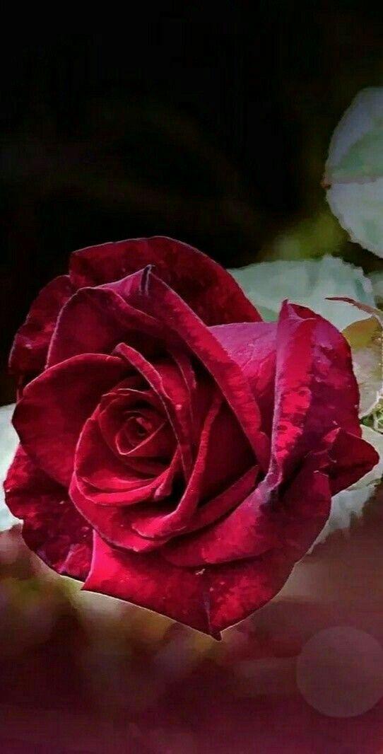 Arka Plan Rosas Vermelhas Rosas Brancas Belas Flores