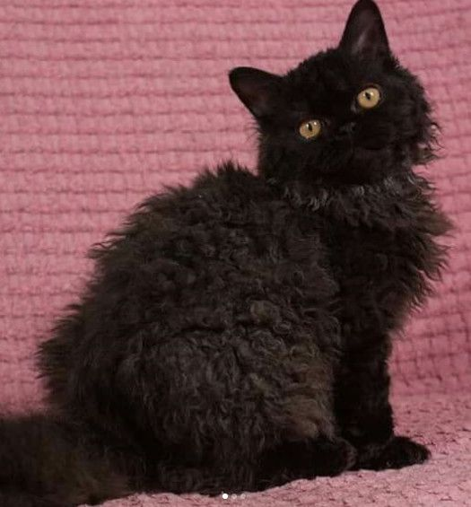 Cat Breeds That Are Ideal For People Over 50 With Images Rex
