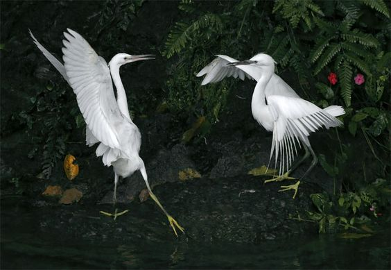 小白鷺.攝於台灣 新北市 坪林  Little Egret, taken at Pinglin, New Taipei City, TAIWAN