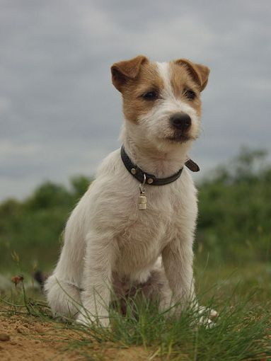a rough coated Jack Russell with the trademark V-shaped ears: