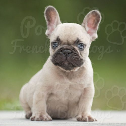 French Bulldog Puppies For Sale In Florida Akc French Bulldogs