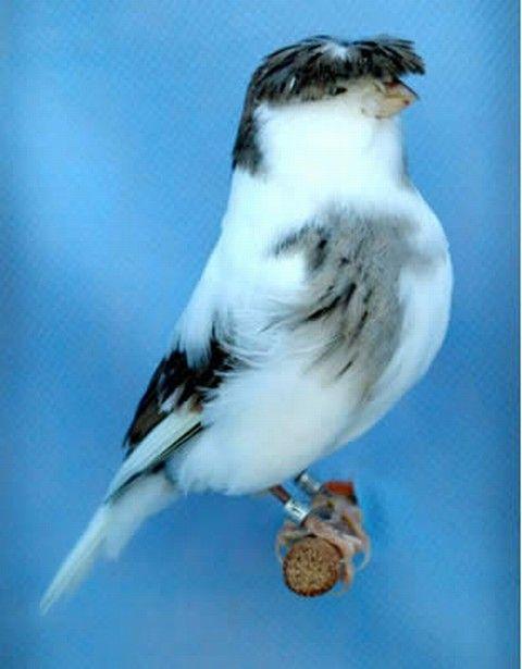 El canario Gloster: Birds Ii, Canarios Buscar, Search, Birds Butterflies, Birds Suddenly, Aves Birds, Birds God, Pajaros Canarios, Birds Flying Beauties