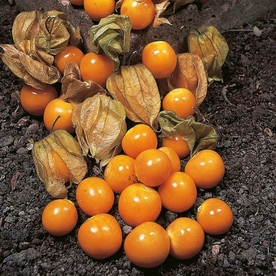 Aunt molly's ground cherry (Physalis Peruviana) SEEDS,Ground Cherry Great for Pie & Jam