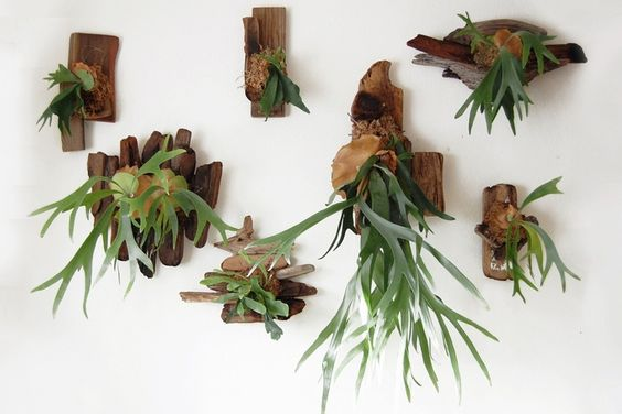 Wall mounted Staghorn fern. Unusual and unique houseplants.