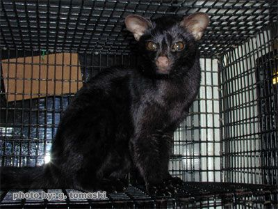 Leopard Bengal Breeder with Kittens for Adoption - Lap Leopard Bengals