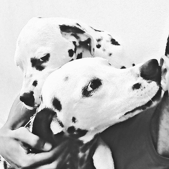 #dalmata  #dalmatas #dalmatian #dalmatian  #dalmation  #dalmatianlove  #dalmataslove  #dalmatasbrasil  #dalmatians_of_instagram  #instapet #instadog #cachorros #brasil #Cuiaba #matogrosso  #amomeudalmata #dalmatiannational #dalmatianclub #lovedalmatian  #amo  #happy #sorria #alegriaquecontagia #ciumes #blackandwhite by apolloemeg #lacyandpaws
