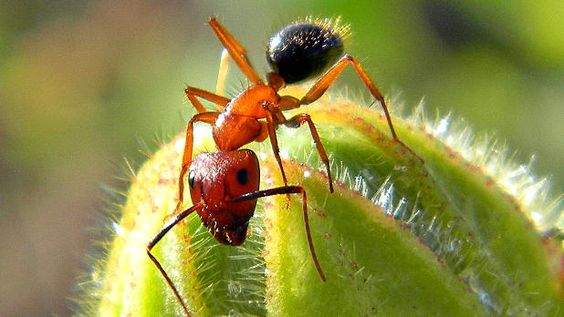 Histone modifications to the DNA of Florida carpenter ants can turn soldiers into foragers.